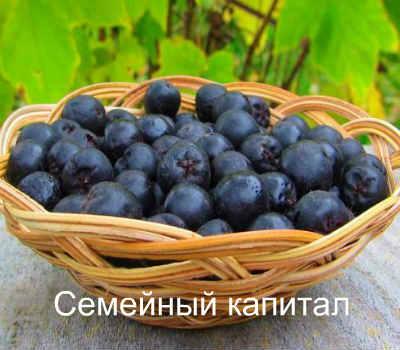 chokeberry aplikacija hipertenzija