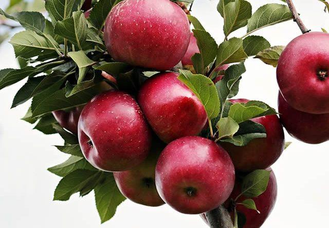 jabuke i liječenje hipertenzije